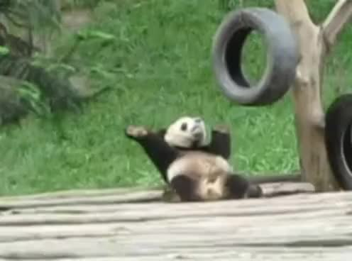Watch this panda GIF on Gfycat. Discover more Panda GIFs on Gfycat