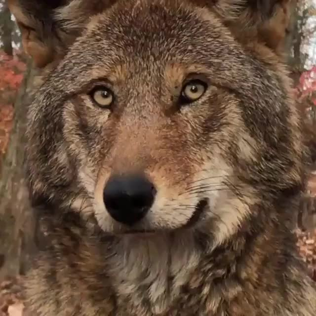 Watch and share Animal GIFs and Wolf GIFs by teistom on Gfycat