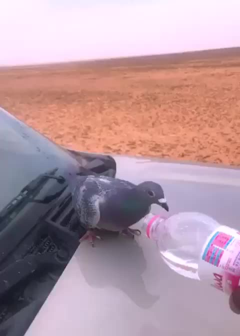 thirst, thirst of bird, thirst od bird GIFs