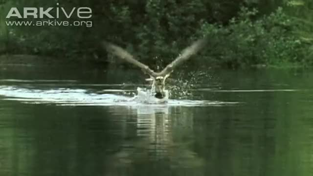 Watch this trending GIF on Gfycat. Discover more Osprey, birds of prey, carrying fish, fish, fisher, fishing, hunter, hunting, in flight, talons GIFs on Gfycat