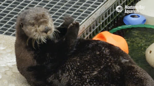 Clapping, GifsofOtters, Otter, Selka the sea otter in Monterey Bay Aquarium GIFs