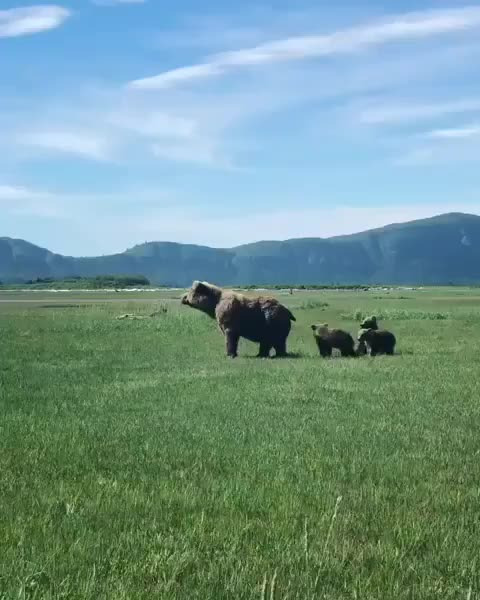 Watch and share Bear Cubs Imitate Their Mom After She Stands Up To Investigate GIFs by vani  on Gfycat