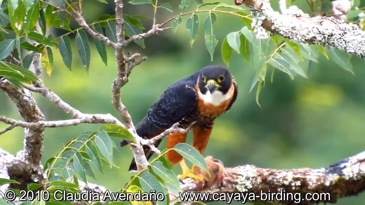 Cayaya Birding, Guatemala, Orange-breasted Falcon, birding Guatemala, birds of Guatemala, Orange-breasted Falcon feeding on Fruit-eating Bat GIFs