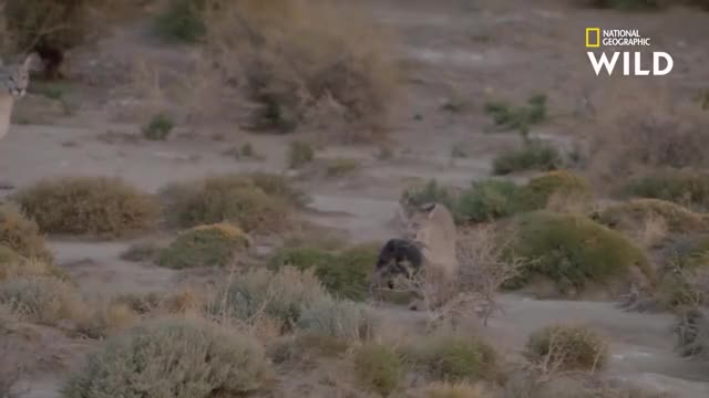Watch and share Pumas Hunting Magellanic Penguins GIFs on Gfycat
