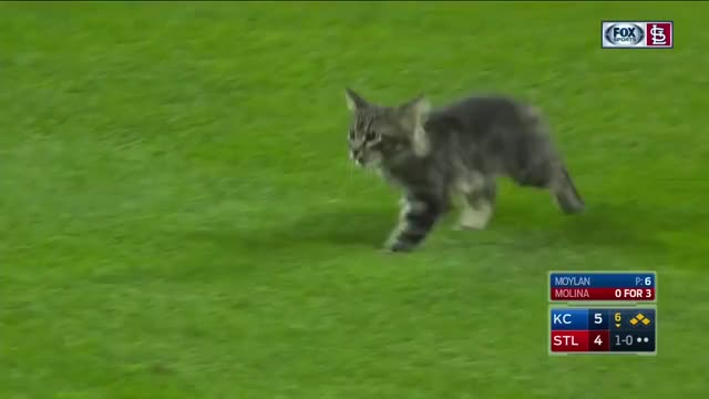 Watch Rally Cat invades the field during Royals-Cardinals GIF on Gfycat. Discover more related GIFs on Gfycat