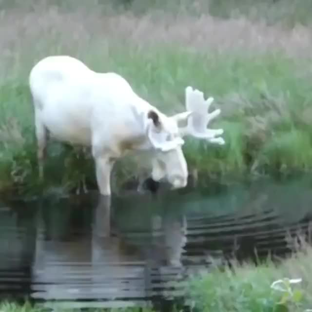 Watch and share Extremely Rare White Moose Caught On Camera GIFs on Gfycat