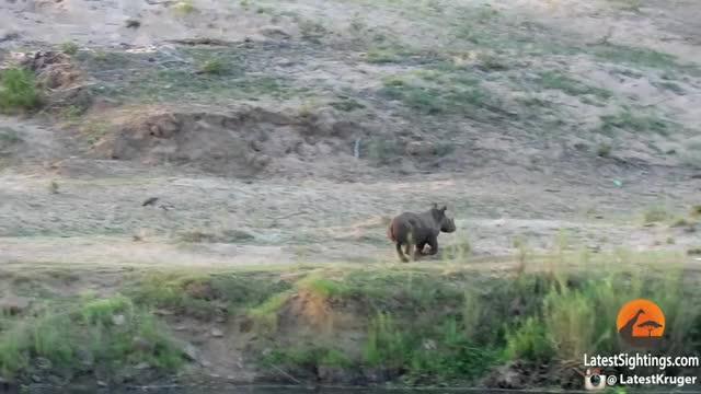 Rhino Calf Chasing Birds
