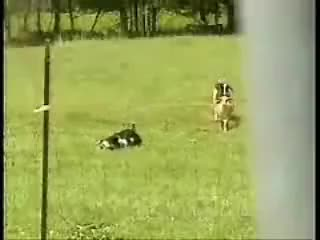Watch and share Fainting Goats GIFs on Gfycat