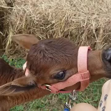 Watch /r/suckysucky GIF by @cakejerry on Gfycat. Discover more baby animal, calf, cute GIFs on Gfycat