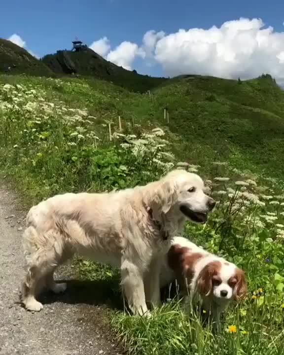 Watch Taking your dogs for a walk... in Switzerland GIF on Gfycat. Discover more hobypopy GIFs on Gfycat