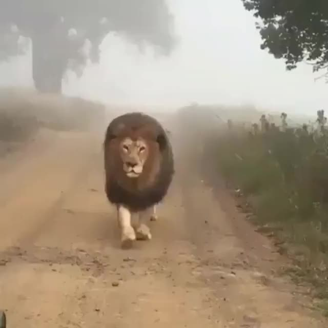 Watch this lion GIF by @heun3344 on Gfycat. Discover more animals, cub, lion, lioness, lions GIFs on Gfycat