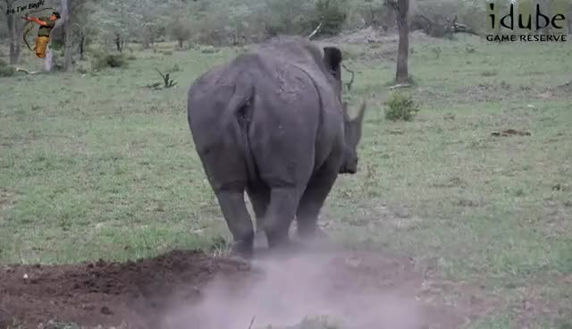 Watch and share Rhino Poop! Male Rhino Marking Territory... GIFs on Gfycat