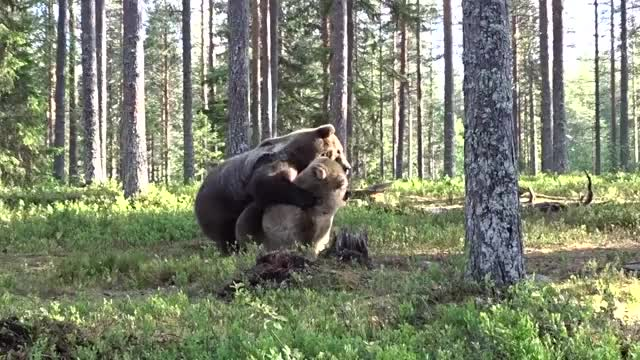 Watch and share Best Bear Fight Ever! 1 GIFs on Gfycat