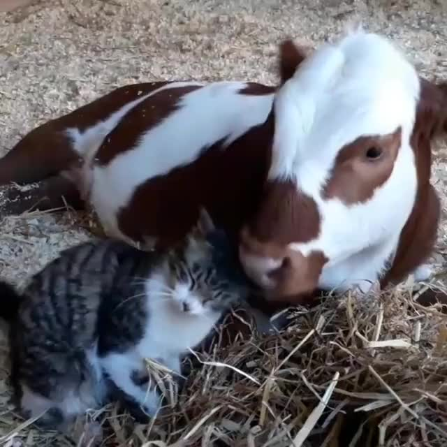 Watch Staci gives Thomas a bath at Freedom Farm Sanctuary GIF by @b12ftw on Gfycat. Discover more Freedom Farm Sanctuary, bff, friendship, friendsnotfood, livekindly, rescue, sanctuary GIFs on Gfycat