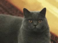 Watch evil eye, stink eye, cat GIF on Gfycat. Discover more related GIFs on Gfycat