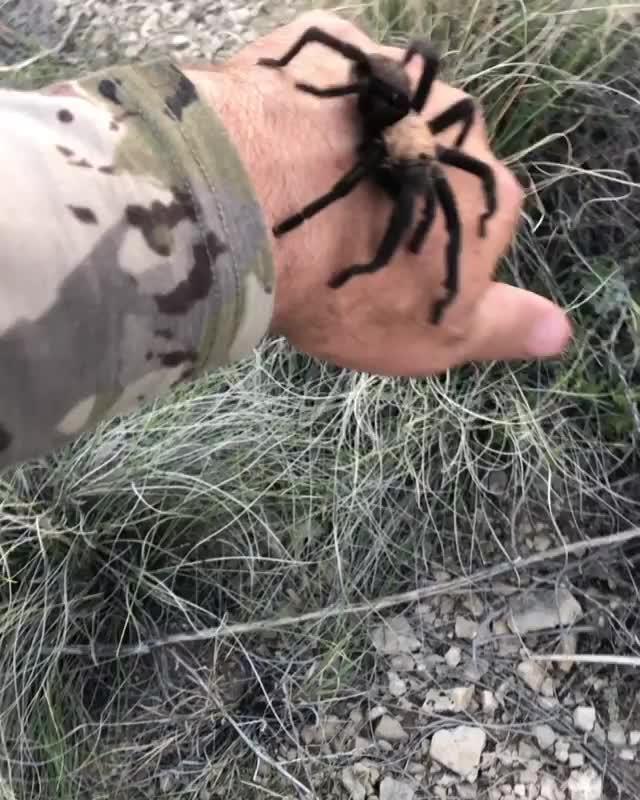nature, Docile Colorado Tarantula GIFs