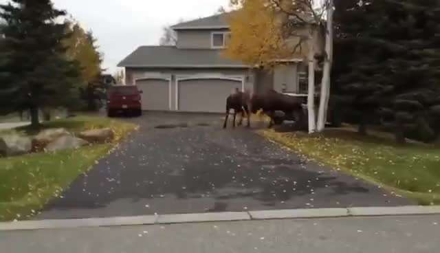 Watch and share Moose GIFs on Gfycat