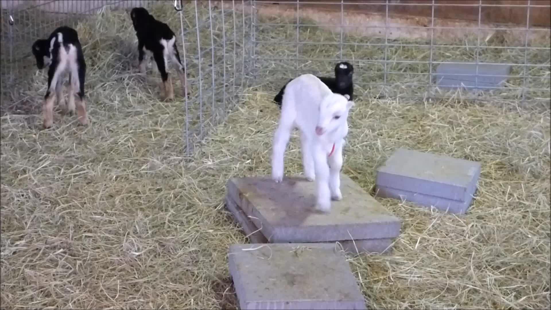 animal, animals, eyebleach, goat, goats, knsfarm, parkour, tippytaps, Big Hop & Tippy Taps GIFs