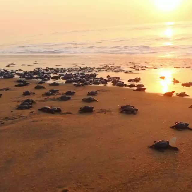 "Watch Every spring, #oliveridley sea turtles converge to Odisha, India for the species' largest mass-nesting event called ""arribada."" Once hatched GIF by @awkwardtheturtle on Gfycat. Discover more IFAW, oliveridley GIFs on Gfycat"