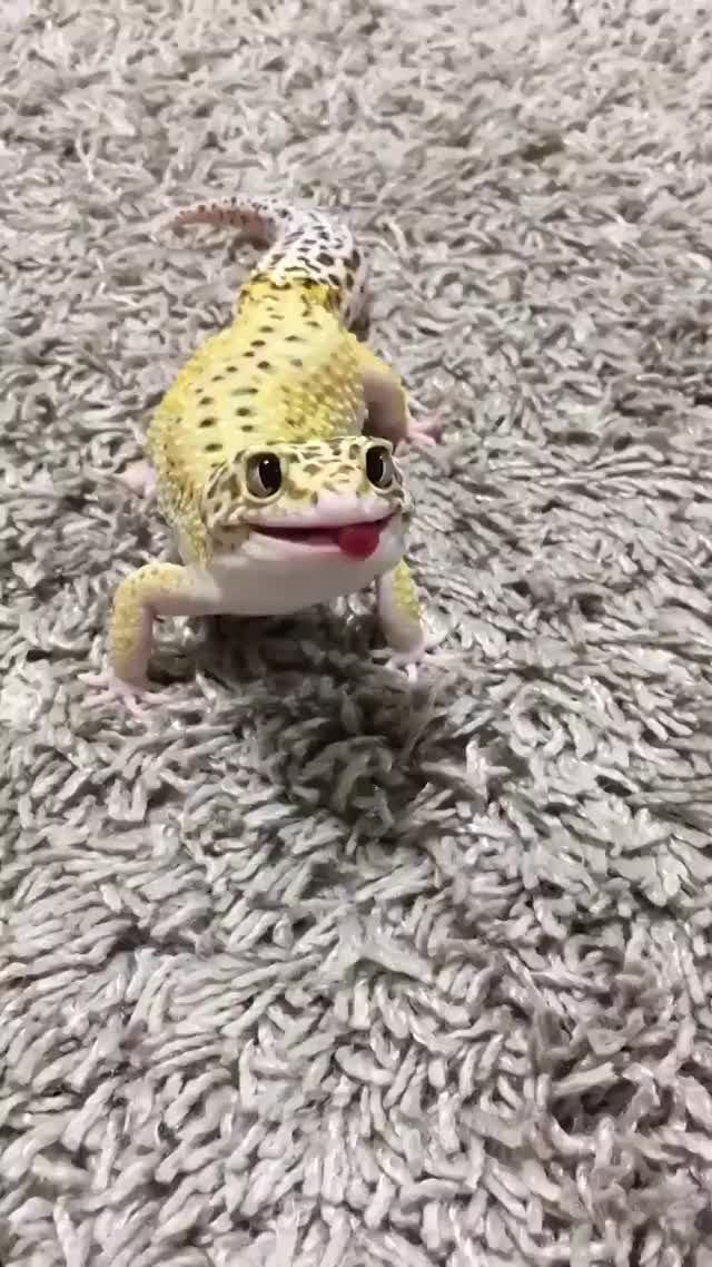 Watch and share Hungry Gecko Is Smiling GIFs by meskal on Gfycat