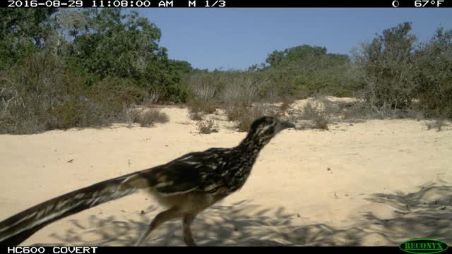Watch and share Roadrunner At La Purisima SHP GIFs on Gfycat