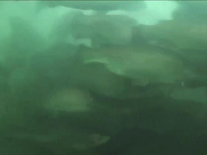 Närbilder på fiskar som trängs under vatten
