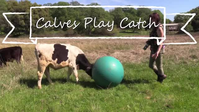 Watch and share Calves Play Ball GIFs and Cows Play Ball GIFs on Gfycat