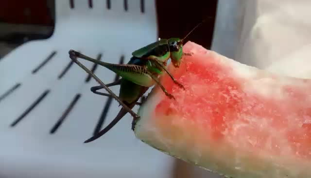 awwnverts, Sharing a watermelon with a cute grasshopper GIFs