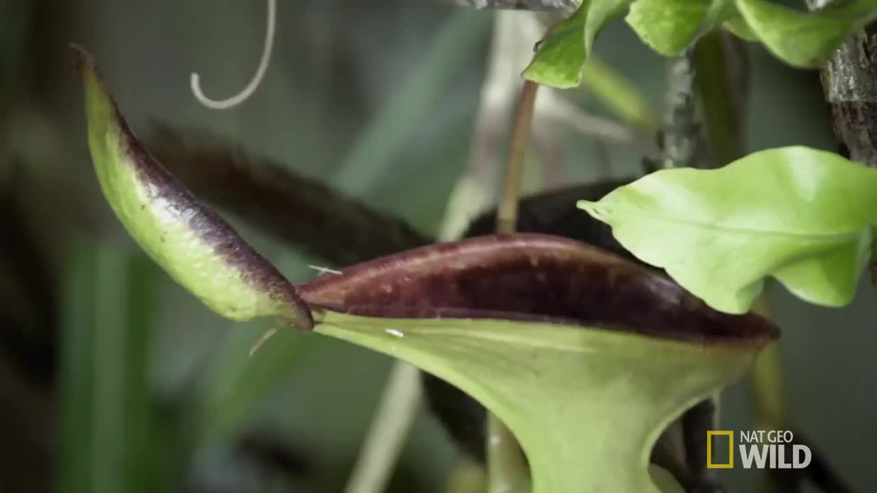 Low's Pitcher Plant and Tree Shrew GIFs