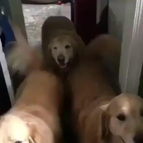 Pupper being dubbed a good boy GIFs