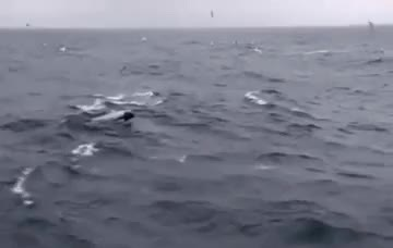 Watch and share Killer Whale GIFs and Orcinus Orca GIFs on Gfycat