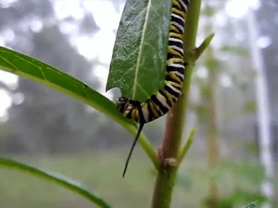 caterpillar, catapillar GIFs