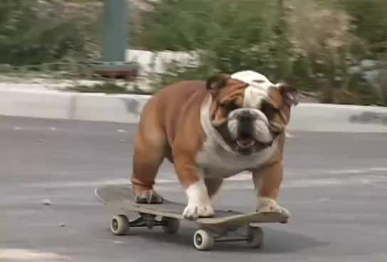 Bulldog, Skateboarding, Skateboarding Bulldog GIFs
