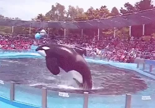 Watch and share Killer Whales GIFs and Killer Whale GIFs on Gfycat