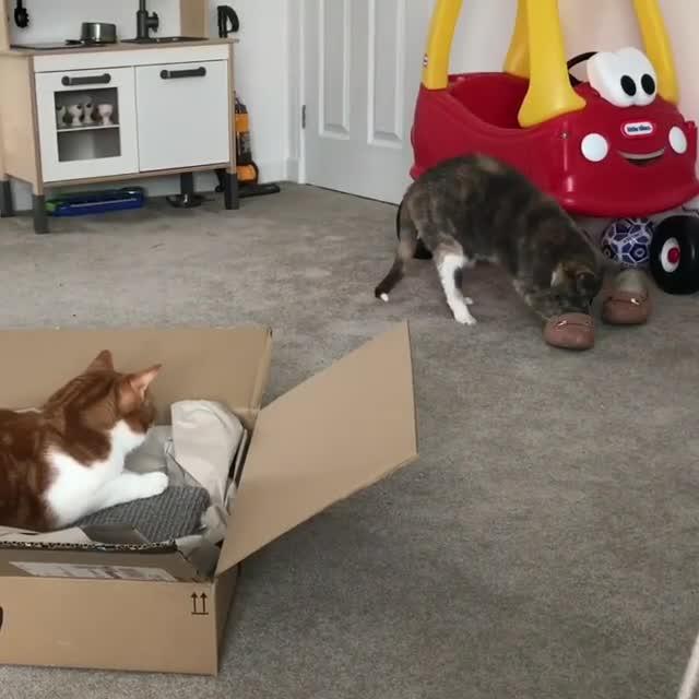 cat, cats, Video by kimiandoscar GIFs