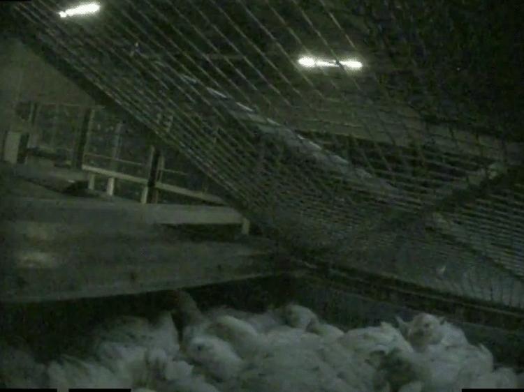 En låda med kycklingar körs in i gastunneln