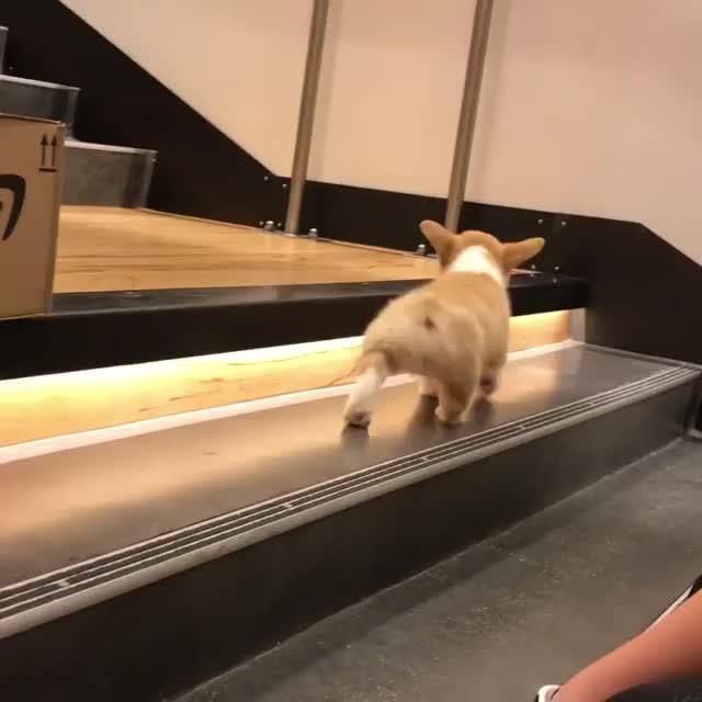 corgi, puppy,  GIFs