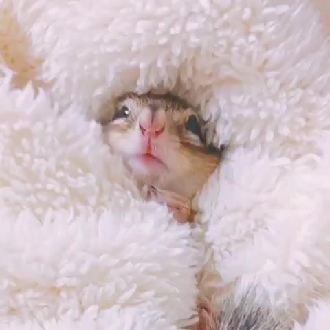 chipmunk, chipmunk, aww, cute, yawn, Chipmunk yawn GIFs
