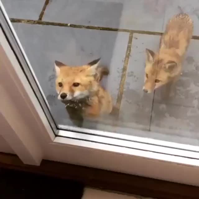 Watch Baby foxes (Kits) want in! I like how the one in back looks like it is trying to push front one through. GIF on Gfycat. Discover more lobofett12 GIFs on Gfycat