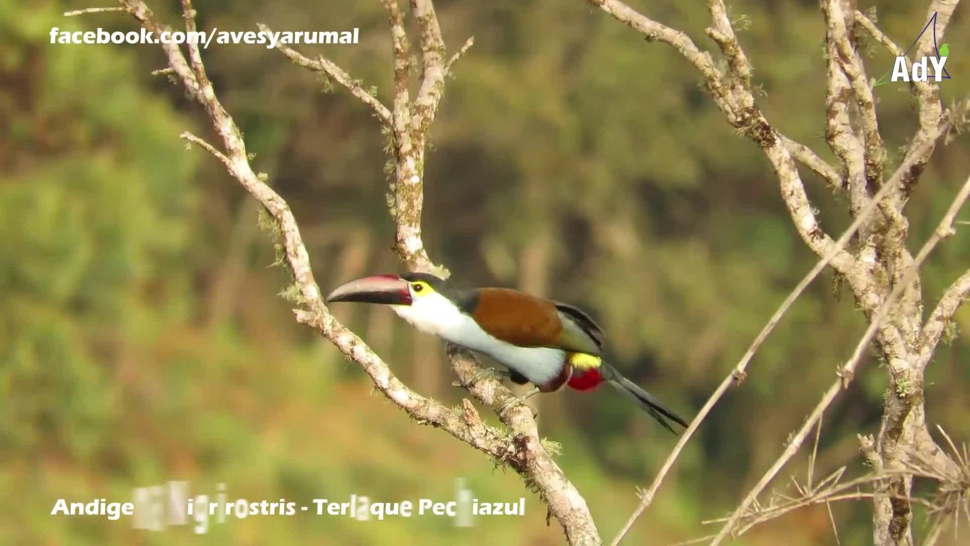 Aves Yarumal, People & Blogs, Andigena nigrirostris - Terlaque Pechiazul - Black-billed Mountain-Toucan - Ramphastidae GIFs