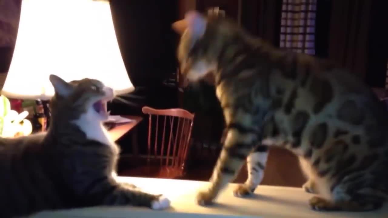 AnimalsBeingJerks, CatSlaps, thecatdimension, Catwondoe GIFs