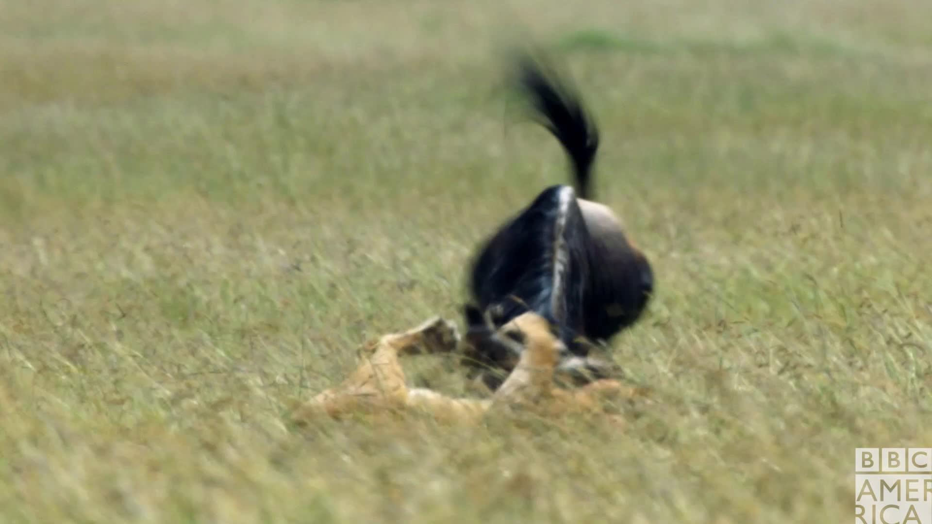 animal, animals, bbc america, bbc america dynasties, bbc america: dynasties, dynasties, fight, hunt, hunting, lion, lions, wildebeest, Dynasties Lioness Charm Hunting Wildebeest GIFs
