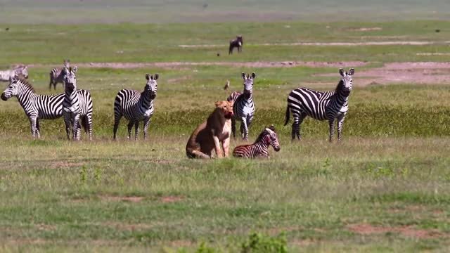 Watch and share Lioness Killing A Zebra Foal While Its Herd Watches GIFs by Pardusco on Gfycat