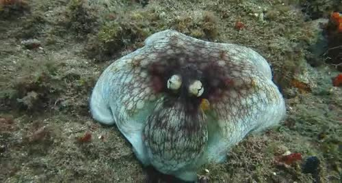 Octopus GIFs