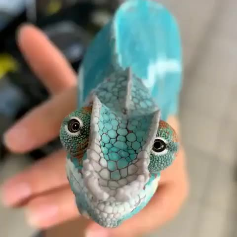 animals, animalvideo, animalvideos, biology, chameleon, chameleonlove, chameleons, chameleonsofinstagram, cuteanimals, funnyanimals, nature, naturevideo, naturevideos, reptile, reptiles, reptilia, reptilian, weirdanimals, wildlife, zoology, Did you know that the eyes of a chameleon can rotate individually so it can look in front and backwards at the same time👀 Video by @romanne GIFs