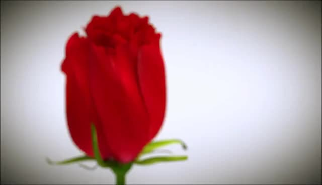 Watch and share Blooming Rose Animation GIFs on Gfycat
