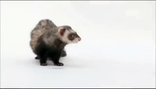 ferret, wut GIFs