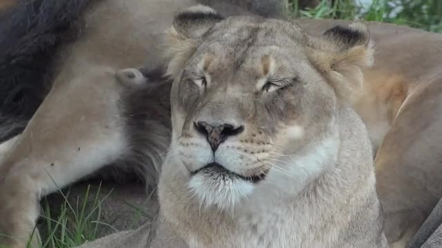 Watch and share Lion GIFs by Reactions on Gfycat