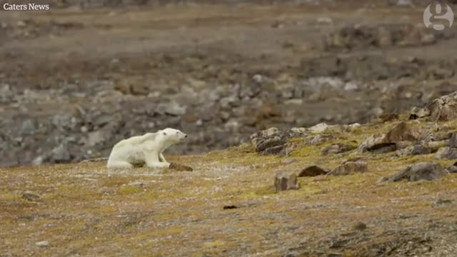 Watch Footage of starving polar bear exposes climate change impact GIF on Gfycat. Discover more Guardian, environment, hungry, video, world GIFs on Gfycat