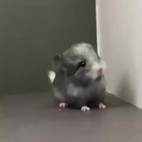 A baby chinchilla GIFs